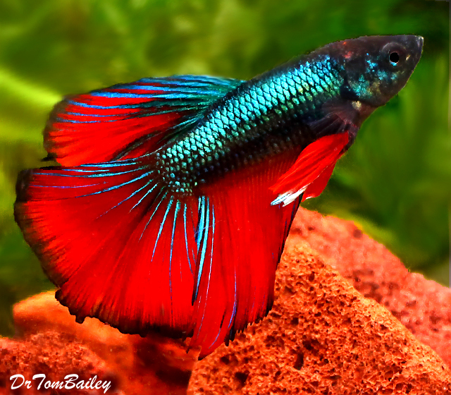 Premium Rare Unique Halfmoon Male Betta Fish, 2