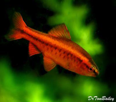 Premium MALE Cherry Barb, Nano Fish, Size: 1