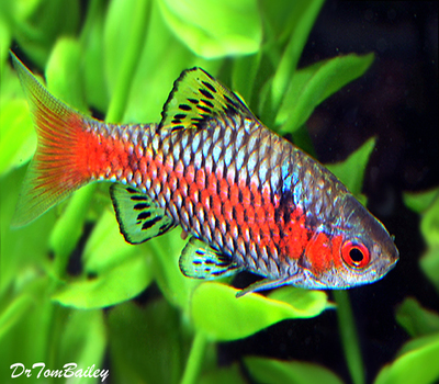 Premium Red Crystal Barb, Size: 1
