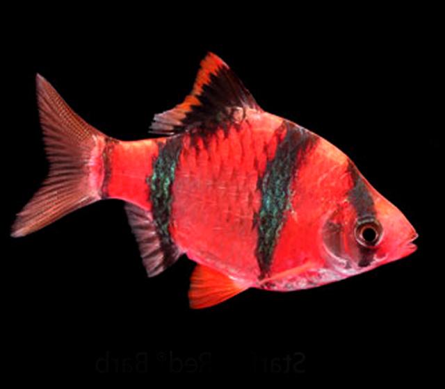 Premium Starfire Very-Red Barb GloFish, 1.5