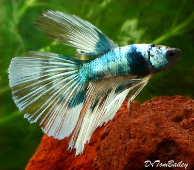 Premium MALE Butterfly Halfmoon Betta Fish, Size: 2