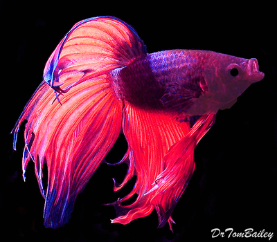 Premium MALE Unique Betta Fish, Size: 2.5
