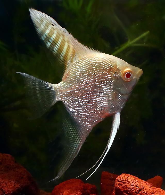 Premium Albino Pearlscale Angelfish, 2