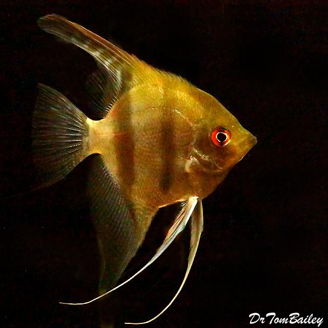 Premium New and Rare, Wild Peruvian Altum Angelfish, 2
