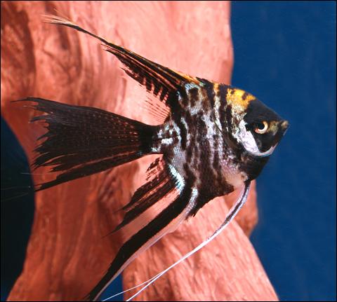 Premium Marbled Veiltail Angelfish, 2.5