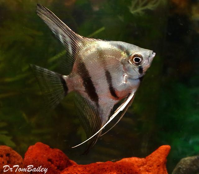 Premium New Wild and Rare, Peruvian Altum Angelfish, 1.5