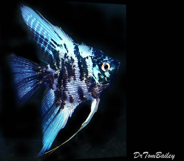 Premium Rare Marbled Blue Angelfish, 2.5