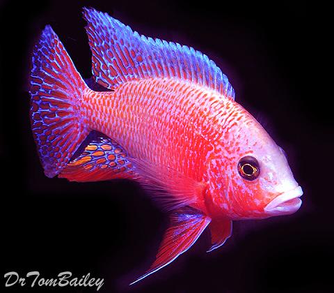 Premium Lake Malawi Firefish Peacock Cichlid, 4