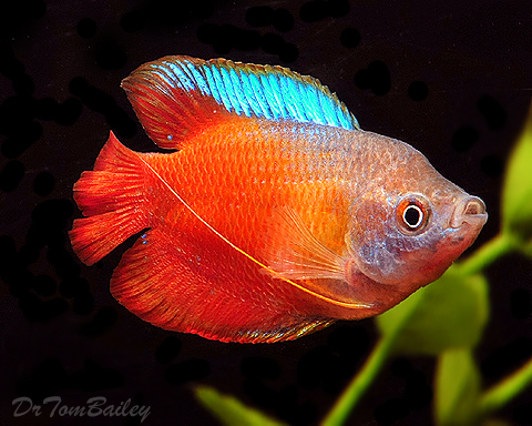 Premium MALE Young Fire Red Dwarf Gourami, 2