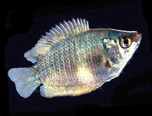Premium Young Female Neon Blue Dwarf Gourami, 1.5