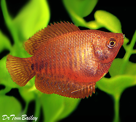 Premium Female Fire Red Dwarf Gourami, 1.5