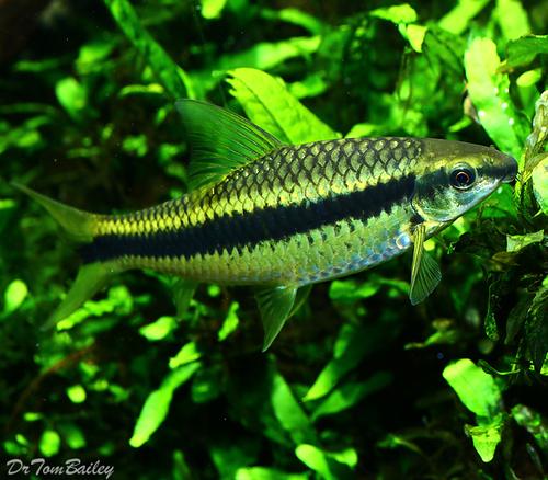 Premium Siamese Algae Eater, Crossocheilus atrilimes, 1.5