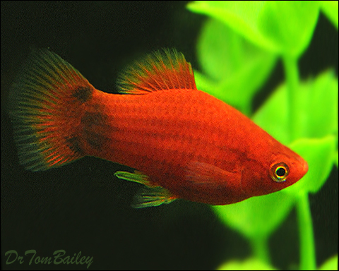 Premium Red Mickey Mouse Platy, 1
