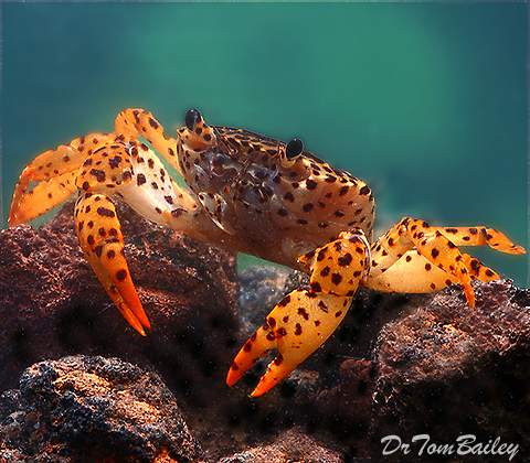 Premium Freshwater Panther Crab, 1.5