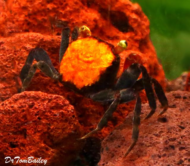 Premium Freshwater Red Devil Crab, 1