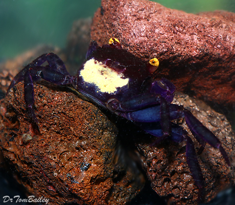 Premium Rare Blue Vampire Crab, 1