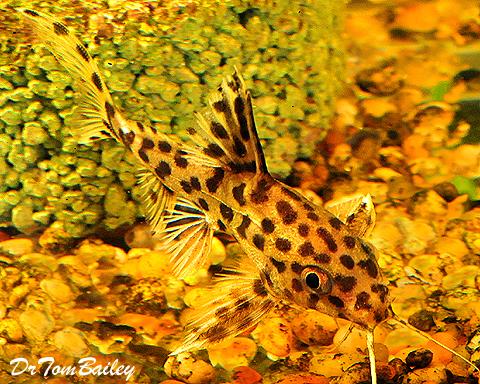 Premium, Rare, Leopard Catfish, Synodontis Leopardinus, 1.5