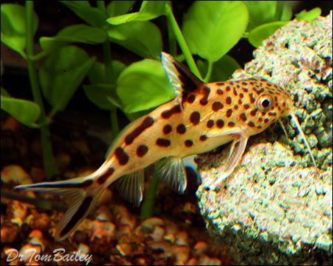 Premium, Rare, Synodontis Multipunctatus Catfish, 2.5