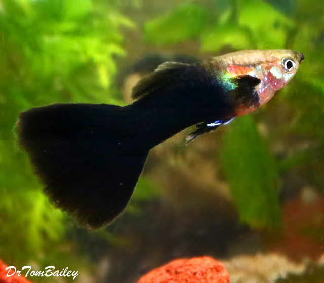 Premium Fancy Male Black Phantom Guppy, 1