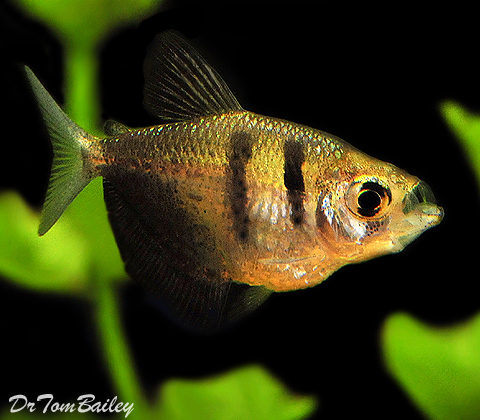 Premium Black Skirt Tetra - also called a Black Widow, 1