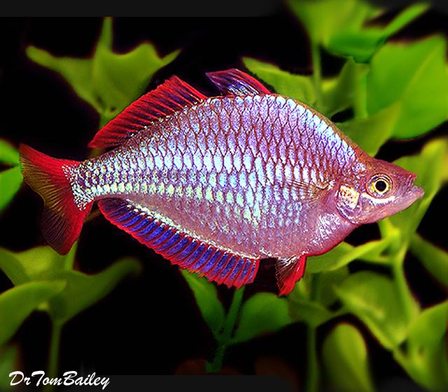Premium Neon Dwarf Rainbowfish, 1