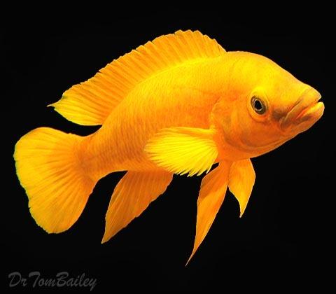 Premium Rare, Lake Tanganyika Yellow Leleupi Cichlid, 2