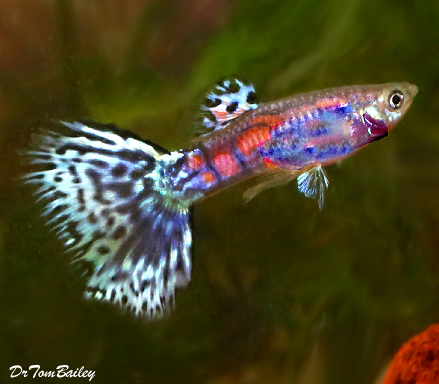 Premium Unique Fancy Male Guppies, 1