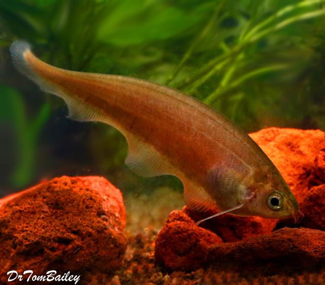 Premium African Black Knifefish, 3.5