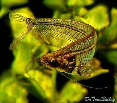 Premium Ghost Catfish, Size: 2