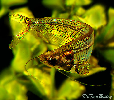 Premium Ghost Catfish, 2