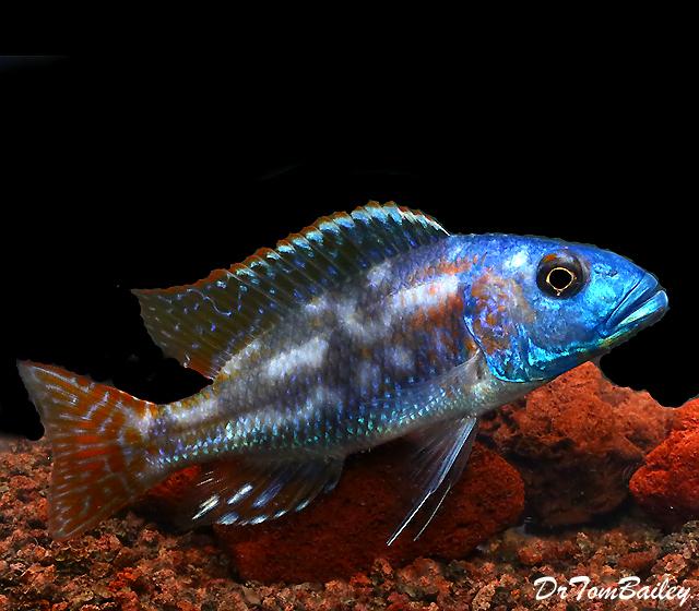 Premium Lake Malawi Fusco Hap Cichlid, 4