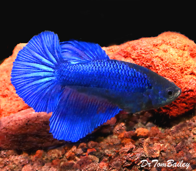 Premium FEMALE Blue Halfmoon Betta Fish, Size: 1