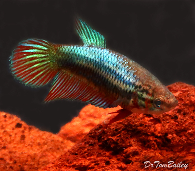 Bargain FEMALE Assorted Betta Fish, Size: 1