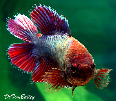 Premium FEMALE Unique Rare, Natural Twin-Tail Betta Fish, Size: 1