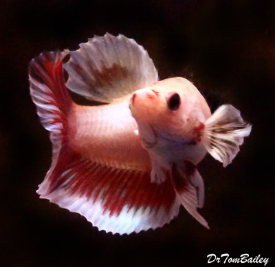 Premium FEMALE Cambodian Butterfly Halfmoon Betta Fish, Size: 1.5