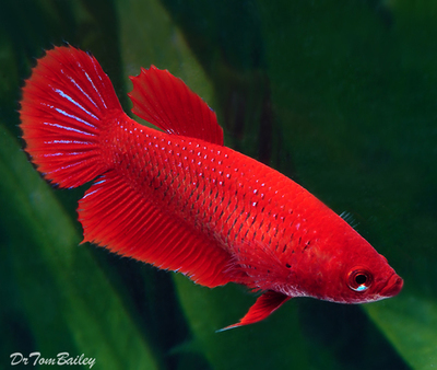Premium FEMALE Red Betta Fish, Size: 1