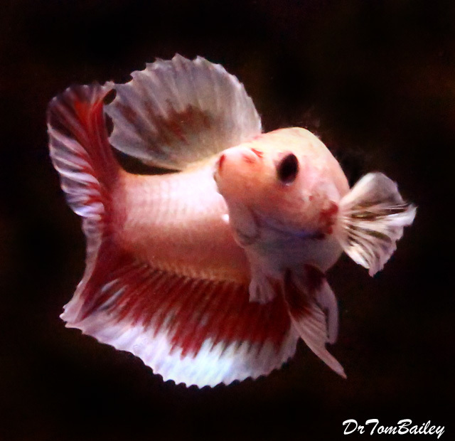 Premium Cambodian Butterfly Halfmoon Female Betta Fish, 1.5