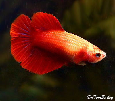 Premium FEMALE Red Halfmoon Betta Fish, Size: 1.5