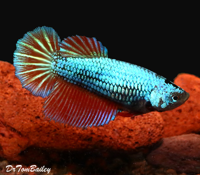 Premium FEMALE Dragonscale Halfmoon Betta Fish, Size: 2