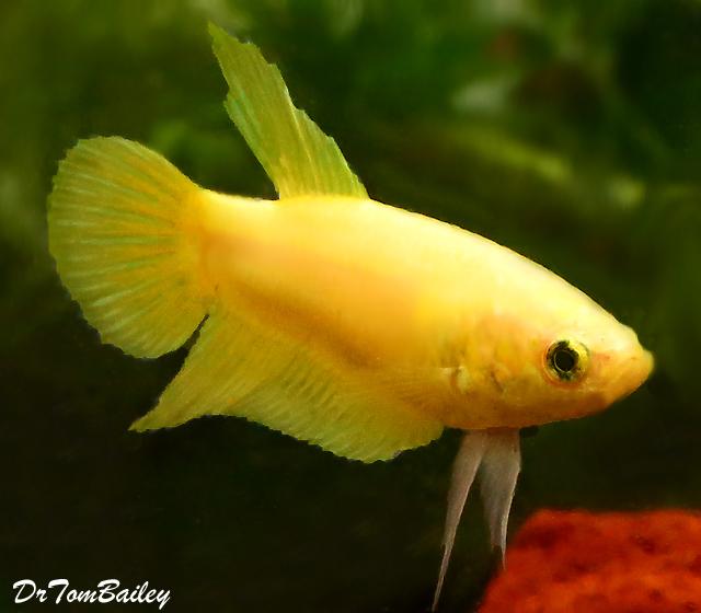 Premium FEMALE Yellow Betta Fish, 1
