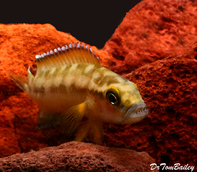 Premium Rare and New, Lake Tanganyika Buescheri Gombe Cichlid, 1.5