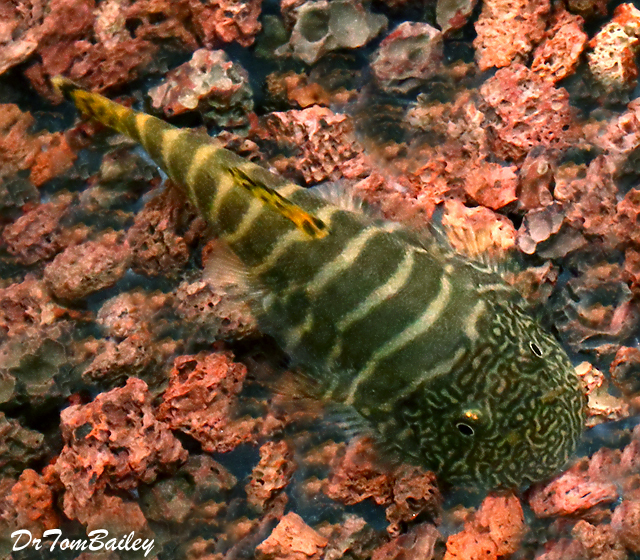 Premium Rare Tiger Butterfly Loach SK04, 1.5
