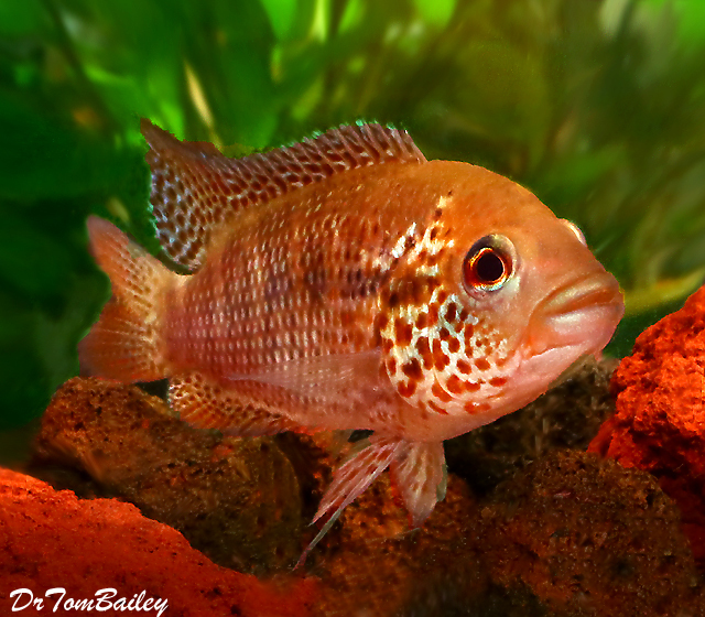 Premium New Rare, Red Tiger Motaguensis Cichlid, 1.5