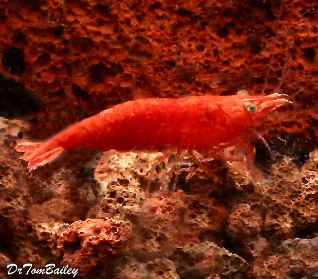 Premium New Super Red Shrimp, 0.75