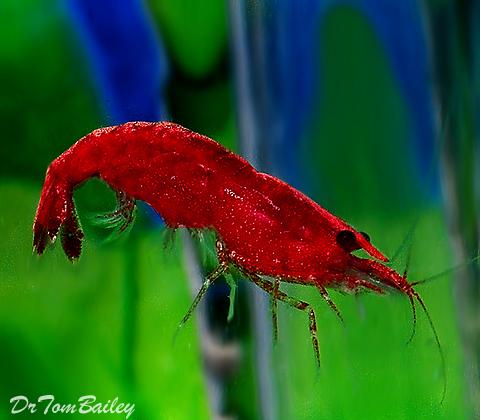 Premium Red Sakura Shrimp, 0.75