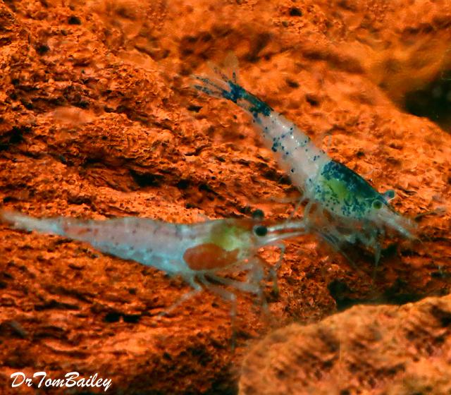 Premium Assorted Fancy Aquarium Shrimp, 0.75