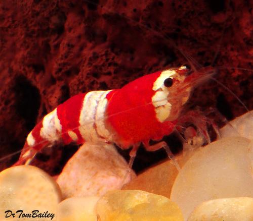 Premium Red and White Crystal Shrimp, 0.75