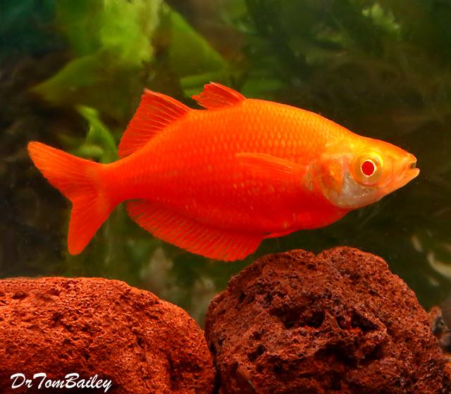 Premium Rare New, Albino Millennium Rainbowfish, 2