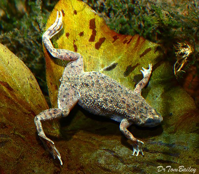 Premium African Dwarf Frog, 0.75