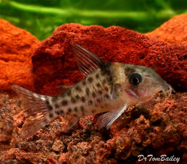 Premium, New and Rare,  Ambiacus Corydoras Catfish, 1